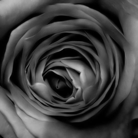 coeur de rose 28 juin 2006
